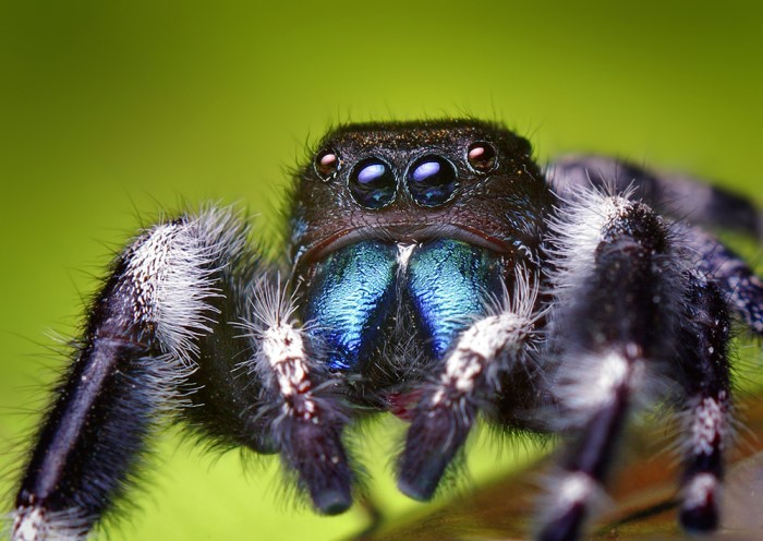 Jumping spider cat toy