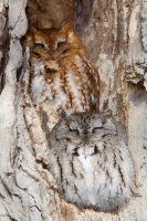 Camouflaged Owls 01