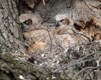 Camouflaged Owls 02