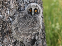 Camouflaged Owls 03