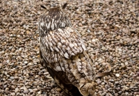 Camouflaged Owls 04