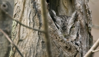 Camouflaged Owls 05