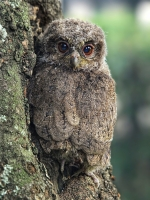 Camouflaged Owls 08