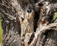 Camouflaged Owls 09