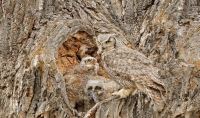 Camouflaged Owls 11