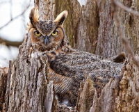 Camouflaged Owls 12