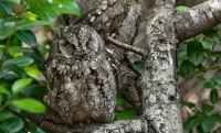 Camouflaged Owls 14