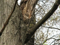 Camouflaged Owls 15