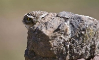 Camouflaged Owls 16