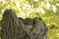 Camouflaged Owls 23