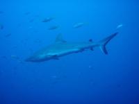 Diving In Chuuk 27
