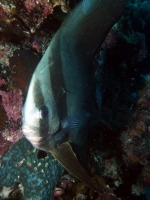 Diving Palau 18