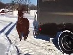 Alpacas Try To Attack A Delivery Driver