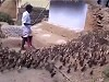 Amazing Bird Herder