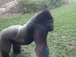 Angry Gorilla Cracks The Glass Trying To Kill Some Folks