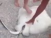 Beachgoers Help A Stingray Deliver Her Babies