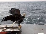 Boaties Rescue A Sinking Eagle On The Lake
