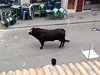 Bull Stops To Make A Withdrawal During Running Of The Bulls