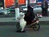 Clever Dog Rides A Scooter To Work
