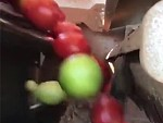 Clever Machine Sorts The Unripe Tomatoes During Packing