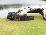 Couple Of Huge Gators Do Battle On The Golf Course