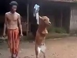 Cow Learned To Walk On Its Front Legs After Someone Ate Its Arms