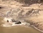 Croc Does Some Watering Hole Zebra Hunting