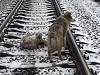 Dog Stays On The Train Tracks With His Injured Friend
