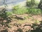 Dog Tries To Scare Off A Croc With A Traumatic Ending