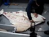 Fisherman Demonstrates How To Clean A Huge Halibut