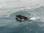 Fishermen Find A Wild Boar Out At Sea