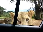 Friendly Lion Opens The Car Door To Say Hi