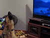 German Shepherd Howling Along With Zootopia