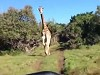 Giraffe Gives Chase And Its Kind Of Scary