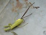 Grasshopper Has Been Overtaken By A Parasite WTFFFFFF
