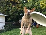 Great Shot Of A Flying Dog Catching A Frisbee