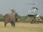 Helicopter Trying To Herd An Elephant