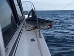 Hooked Shark Jumped Up On The Boat