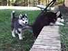 Huskie Puppy Helps Out His Huskie Sibling
