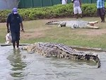 Its Croc Feeding Time Wow