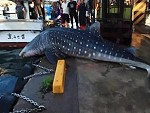 Jap Fishermen Return A Whale Shark To The Water With A Forklift