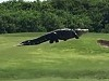 Just A Ginormous Gator Cruising The Golf Course