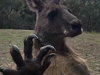 Kangaroo Doesn't Quite Get The Concept Of Glass