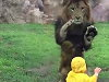 Lion Tries To Eat The Fuck Out Of A Toddler At Chiba Zoological Park