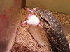 Lizard Absolutely Destroys Dinner In The Most Horrific Way Possible