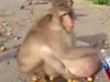Macaque Colony Seem To Be Facing An Obesity Epidemic