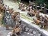 Monkeys Try To Settle It With A Gang War