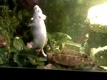 Mouse Becomes Turtle Dinner