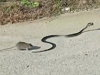 Mummy Rat Attacks A Snake To Get Her Baby Back