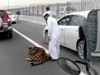 Pet Tiger Escapes On To The Freeway In Qatar